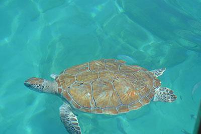tartaruga marina barbados